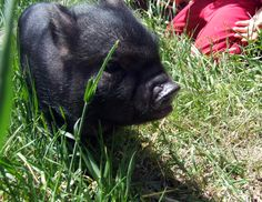 """Squirt arrived 3 May 2012 at only 7 weeks old, having been torn from his mother at less than one week old to be sold off by a horrible breeder... this breeder had promised the people that paid $1000 for him that his dad was only 9-pounds so he wouldn't get any bigger than that! ...The false trend of """"tea cup"""" pigs should be stopped and these breeders should be put out of business."""