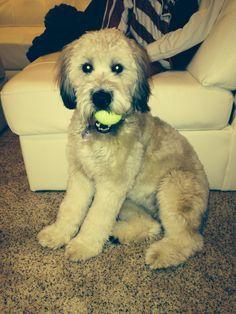 Libby the Wheaten Terrier