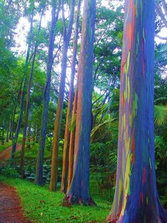 Eucalyptus deglupta is a tall tree, commonly known as the rainbow eucalyptus, Mindanao gum, or rainbow gum. It is the only Eucalyptus species found naturally in the Northern Hemisphere. L Eucalyptus, Unique Trees, Colorful Trees, Eucalyptus Species, Rainbow Eucalyptus Tree, Weird Trees, Tree Bark, Anime Comics, Still Life