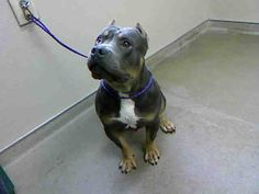 *GIDEON-ID#A727423  Shelter staff named me GIDEON.  I am a neutered male, gray and white Pit Bull Terrier.  The shelter staff think I am about 2 years old.  I have been at the shelter since Jul 22, 2013.