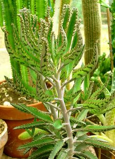 Kalanchoe daigremontiana - aka Mother of Thousands or Mother of Millions