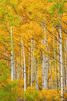 gold aspens in Rocky Mntn Natl Park-absolutely gorgious in the fall