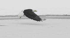 A mature bald eagle at Farmington Bay on the Great Salt Lake. (Scott Sommerdorf   |  The Salt Lake Tribune)