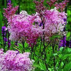 http://www.planteshop.dk/amerikansk-mjodurt-filipendula-rubra-venusta-co