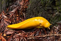 banana slug | Banana Slug Crawls through Decaying Redwood Needles