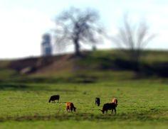 Little cattle.  #tiltshift