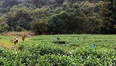 Our Wuyi mountain tea garden