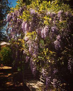 Wisteria #wisteria #flowers #plants #garden #gardenersnotebook #nature #outdoors #purple #purpleflowers