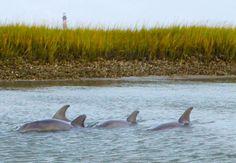 Folly Beach Dolphins  Morris Island  charter boat tour