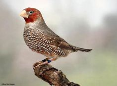 Red-headed Finch | red headed finch male common names paradise finch red headed weaver ...