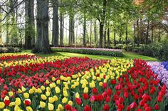Join in with a Dutch national obsession this spring, and find out how to see the best tulip gardens, fields and festivals on your next trip to Amsterdam.