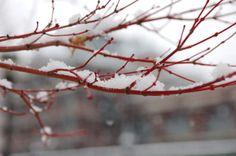 Young stems of Acer 'Sangu kaku' (Coral Bark Maple)