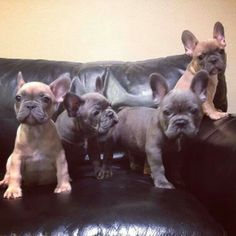 Frenchies, French Bulldog Puppies