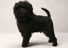 Banana Joe defeated six dogs on to become the first Affenpinscher to win the distinction at the 2013 Westminster Kennel Club Dog Show.