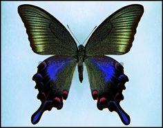 Papilio Bianor Hachijonis -Female -Hachijo Island, Japan -(4 in wingspan)