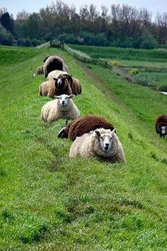 Sheep in a row, a beautiful row.