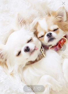 Chihuahua Love, Chihuahua Puppies, Cute Puppies, Cute Dogs, Puppies And Kitties, Doggies, Happy Animals, Cute Baby Animals, Cute Animal Pictures