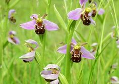 'Much of county's wildlife has weathered the storm'. Bee Orchids, North Burlingham, in June 2005. PICTURE: Peter Mallett,