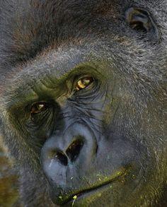 Imgs For > Angry Silverback Gorilla | Gorilla | Pinterest ... - photo#46