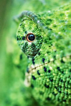 [Chamaeleo dilepis] Eye on you Photo by Kevin Dooley - 2017 National Geographic Nature Photographer of the Year Macro Photography, Wildlife Photography, Animal Photography, Chameleon Eyes, Alpacas, Close Up Art, Fotografia Macro, Reptiles And Amphibians, National Geographic Photos