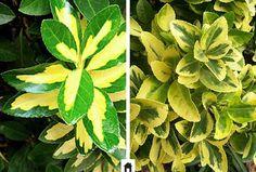 Evonimo, conheça esta e mais 25 plantas resistentes ao sol.