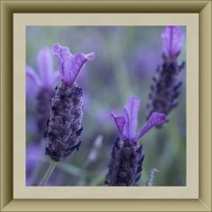 Lovely Lacy Lavender