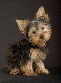 Yorkshire puppy #yorkshireterrier