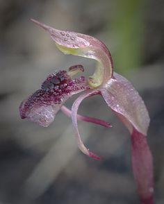 Autumn-Bird-Orchid : Chiloglottis reflexa - Flickr - Photo Sharing!