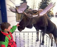 """Alaska's moose population is at odds with the urban sprawl in Anchorage and Fairbanks. Suburban moose sightings are quite common, especially when heavy snowfall occurs. These sedate animals are not threatening. Zoo Animals, Animals And Pets, Funny Animals, Cute Animals, Wild Animals, Moose Pictures, Animal Pictures, Moose Pics, Wild Life"