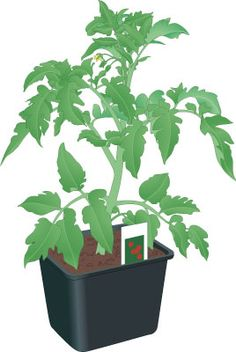 Lessons from the Garden: Crazy Weather: When to Plant Tomatoes