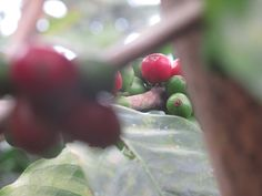 #Coffee #beans #red #green #ripen in #Colombia #Cocora #coffee #region.