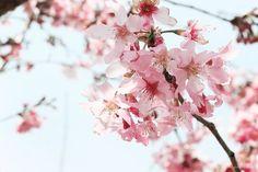 Cingjing Farm, 大同村, Taiwan Province, Taiwan Cherry Blossoms, Solo Travel, Farm Animals, Taiwan, Flowers, Plants, Cherry Blossom, Japanese Cherry Blossoms, Flora