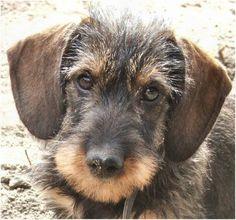ruwharige teckel #dachshund