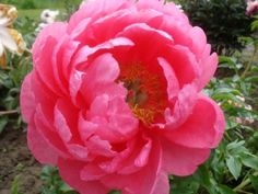 Cytherea peony roots are available for fall planting - October is the perfect peony planting month.