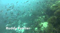 Video Ruddy Fusilier | Pata Negra Dive Center Bohol Philippines, Beach Club, Diving, Island, Scuba Diving, Islands