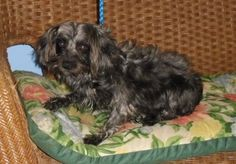 Petfinder  Adoptable | Poodle | Dog | Tulsa, OK | Willow Poo/Yorkie Mix, female, black w/silver, ~4 yrs,  Reason in Rescue: Breeder release  Willow is a very sweet, but shy little girl. She is a little fearful of her new world, but is slowly adjusting. She is looking for more and more attention from her foster mom. She is good with other dogs. She would be terrified of small children, and doesn't know what a cat is. She will need training on all levels.