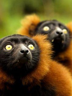 Red-ruffed Lemurs (photo by xHalloweenx)