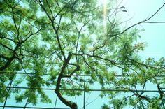20140623【燦陽下的鳳凰樹】 早安安,又是新的一週,最近發現附近出現蟬鳴,好有夏天的FU~