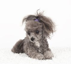 who is the owner? is it for sale? Toy Poodles, Mini Poodles, French Poodles, Cute Puppies, Dogs And Puppies, Silver Poodle, Tea Cup Poodle, Poodle Grooming, 100 Followers