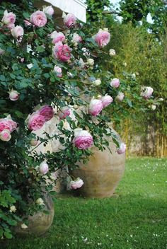 Roses Eden 86 aka Pierre de Ronsard and antique terra cotta olive oil jars.I have grown this rose and will have it again here in my new garden.
