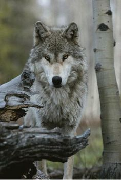 Beautiful Portrait of a Gray Wolf, Canis LupusBy Jim And Jamie Dutcher - Animals Wild Life Wolf Photos, Wolf Pictures, Animal Pictures, Nature Photos, Beautiful Creatures, Animals Beautiful, Cute Animals, Wild Animals, Baby Animals