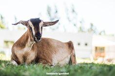 """Para ellos solo """"un experimento fallido""""  En una granja lechera de cabras los explotadores se propusieron experimentar con la genética con tal de conseguir una raza que diera más leche pero con el """"sabor tradicional"""". Así llegó al mundo la pequeña Chumi sin entender nada y con una oreja doblada que sin saberlo podría haber significado su vida o su muerte.  A los explotadores no les gustó que su experimento genético tuviera una oreja doblada y por esa única razón la iban a matar. Sin embargo…"""