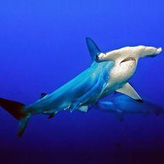 Foto del día: #Tiburón martillo. Imagen de #NatGeoWild