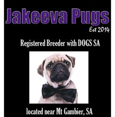 Jakeeva Pugs - Pug breeder - Mt Gambier