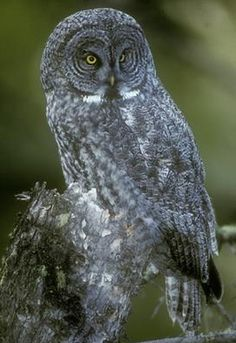 Great Gray Owl Life History, All About Birds, Cornell Lab of Ornithology All Birds, Birds Of Prey, Bird Pictures, Cute Pictures, Owl Information, Owl Moon, Five In A Row, Evergreen Forest, Great Grey Owl