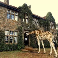 Le giraffe si possono vedere durante un safari nella savana, ma anche molto da vicino se si alloggia al Giraffe Manor a Nairobi in Kenya