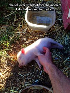 Our's did this too :) Pigs are so entertaining! They 'really' added 'personality' to our little farm. My son 'loved' our little pigs!! xo :)