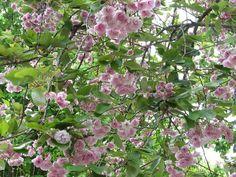 Prunus in bloei door Luit Dijkstra