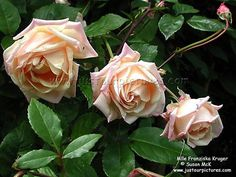 Tea rose - I'll always remember Heritage Rose, Flower Art Images, Heirloom Roses, Flower Meanings, Rose Pictures, David Austin Roses, Most Beautiful Flowers, Flower Aesthetic, Antique Roses