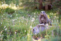 Mount Rainier National Park Animals | Mt. Rainier National Park | The Perpetual Vagabond